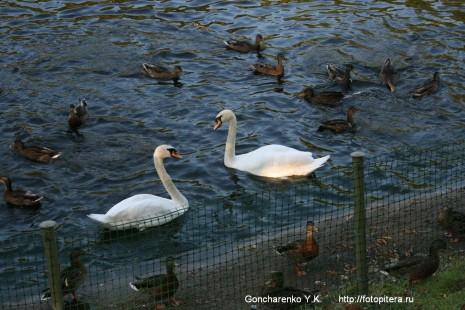 Лебеди на Карпиевом пруду в Летнем саду