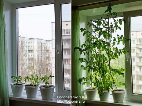 tomats_1